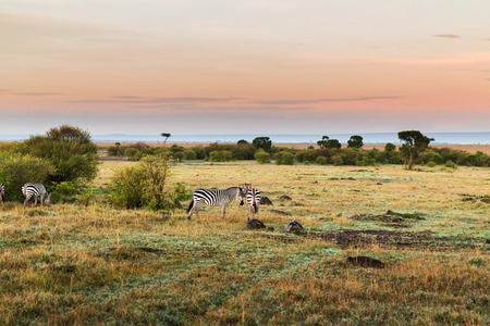Foto de herd of zebras grazing in savannah at africa - Imagen libre de derechos