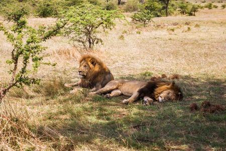 Foto de male lions resting in savannah at africa - Imagen libre de derechos