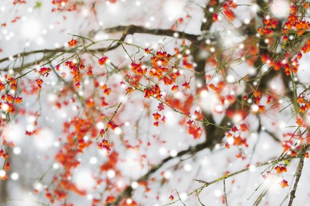 Photo for nature and environment concept - spindle tree or euonymus hamiltonianus branch with fruits in winter - Royalty Free Image