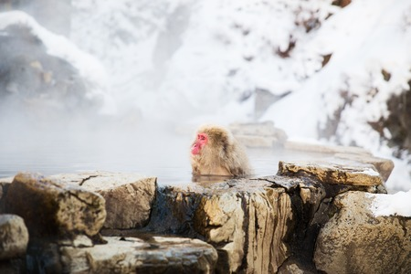 Photo pour japanese macaque or snow monkey in hot spring - image libre de droit