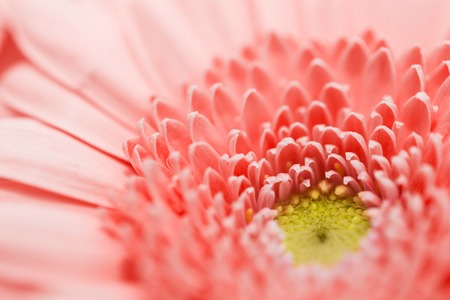 Photo for beautiful gerbera flower in living coral color - Royalty Free Image
