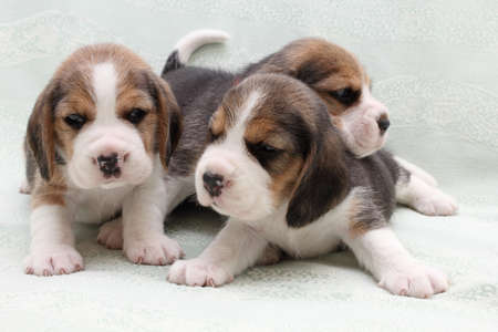 a group of small dogs puppies beagle