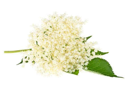 Photo pour Elderberry flower with leaves on a white background - image libre de droit
