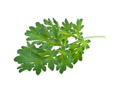 Photo for Medicinal plants. Sagebrush. Wormwood plant on a white background. - Royalty Free Image