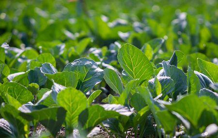 Photo pour Chinese Kale planted in the garden - image libre de droit
