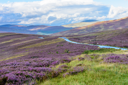 Photo pour Beautiful native purple heather on the gently rolling hills of the Cairngorms national park in Northern Scotland - image libre de droit