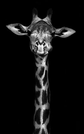 Foto de Creative black and whitw image of a thornycroft giraffe - Imagen libre de derechos