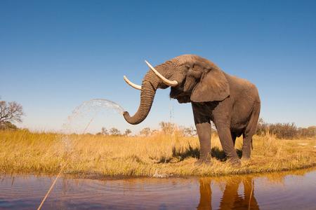 Foto de Wild African elephant in the wilderness - Imagen libre de derechos