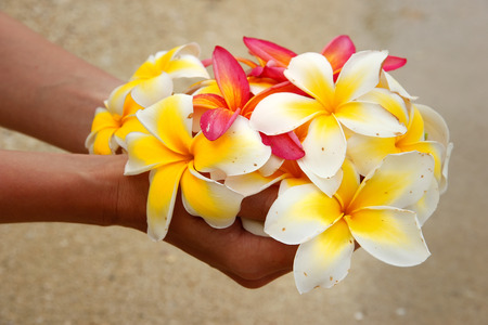 Hands holding white and pink plumeria flowers