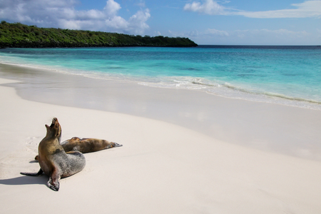 Photo for Galapagos sea lions on the beach at Gardner Bay, Espanola Island, Galapagos National park, Ecuador. These sea lions exclusively breed in the Galapagos. - Royalty Free Image