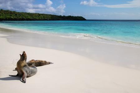 Photo pour Galapagos sea lions on the beach at Gardner Bay, Espanola Island, Galapagos National park, Ecuador. These sea lions exclusively breed in the Galapagos. - image libre de droit