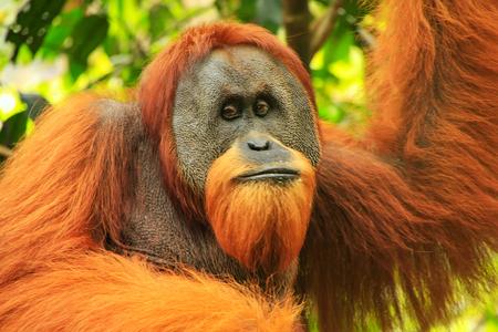 Photo pour Portrait of male Sumatran orangutan (Pongo abelii) in Gunung Leuser National Park, Sumatra, Indonesia. Sumatran orangutan is endemic to the north of Sumatra and is critically endangered. - image libre de droit
