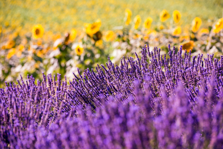 Foto de Close up Bushes of lavender purple aromatic flowers at lavender field in summer near valensole in provence france - Imagen libre de derechos
