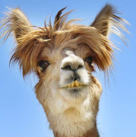 Photo pour Alpaca with funny hair. - image libre de droit