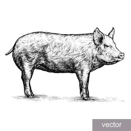 Ilustración de engrave isolated pig vector illustration sketch. linear art - Imagen libre de derechos
