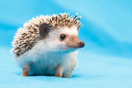Photo pour African hedgehog at home - image libre de droit