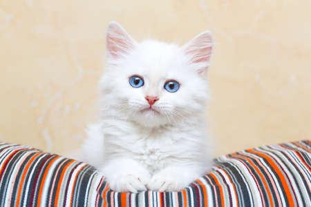 Foto de Siberian kitten at home - Imagen libre de derechos