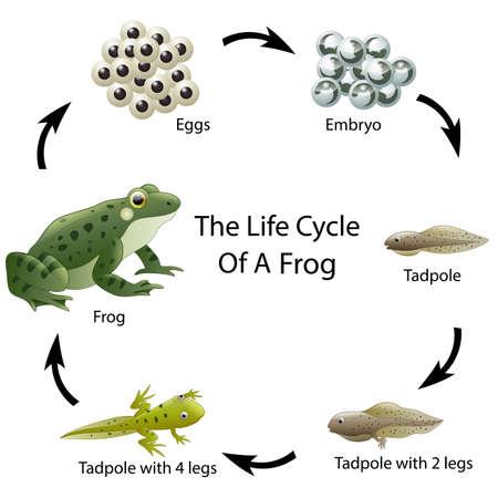 Illustration pour The life cycle of a frog - image libre de droit