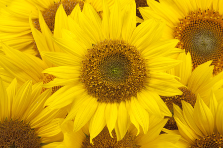 Photo for Sunflowers closeup - Royalty Free Image