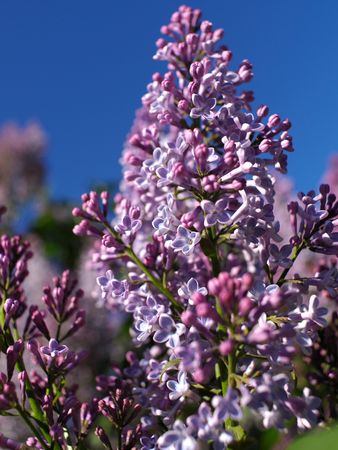 Photo for The lilac blossoming under the open sky. flowers of lilac. - Royalty Free Image