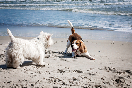 Foto de Dog beagle breeds having fun on the sand of the seashore. - Imagen libre de derechos
