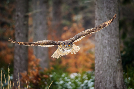 Photo for Flying Eurasian Eagle Owl in colorfull winter forest. Wing span in fly. - Royalty Free Image