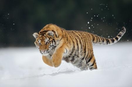 Photo pour Tiger jumping on snow - image libre de droit