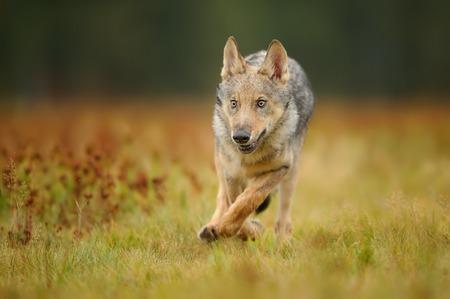 Photo pour Running wolf cub from front view - image libre de droit