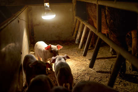 Baby pigs at pig farm under the bulb light.