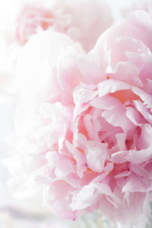 Photo pour beautiful pink peony flower background - image libre de droit