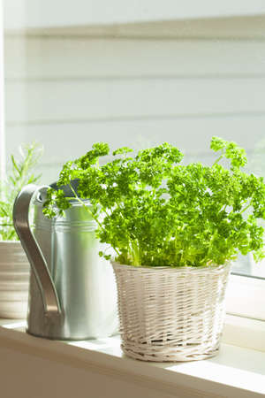 Photo for fresh parsley herb in white pot on window - Royalty Free Image