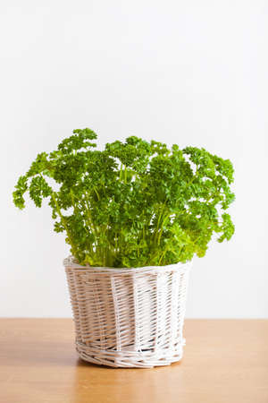 Photo for fresh parsley herb in white pot - Royalty Free Image