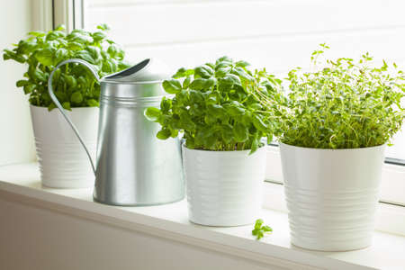 Foto de fresh basi and thymel herb in pot on window, watering can - Imagen libre de derechos