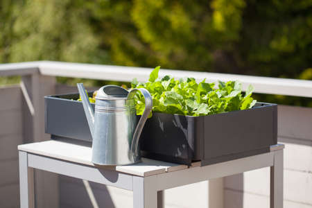 Photo for growing radish and salad in container on balcony. vegetable garden - Royalty Free Image