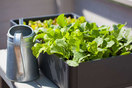 Photo pour growing radish and salad in container on balcony. vegetable garden - image libre de droit