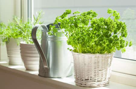 Photo pour fresh parsley herb in white pot on window - image libre de droit