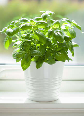 Photo for fresh basil herb in pot on window - Royalty Free Image