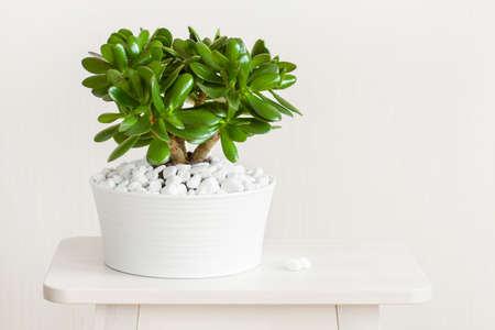 Foto de houseplant Crassula ovata jade plant money tree in white pot - Imagen libre de derechos