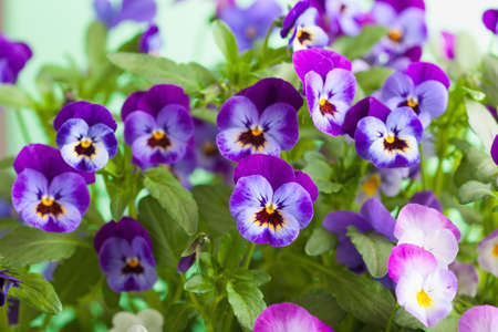 Foto de beautiful pansy summer flowers in garden - Imagen libre de derechos