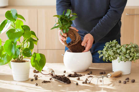 Photo for gardening, planting at home. man relocating ficus houseplant - Royalty Free Image