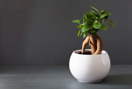 Photo for houseplant ficus microcarpa ginseng in white flowerpot - Royalty Free Image