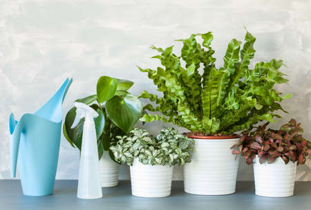 Photo for houseplants Asplenium nidus, peperomia and fittonia in flowerpots - Royalty Free Image