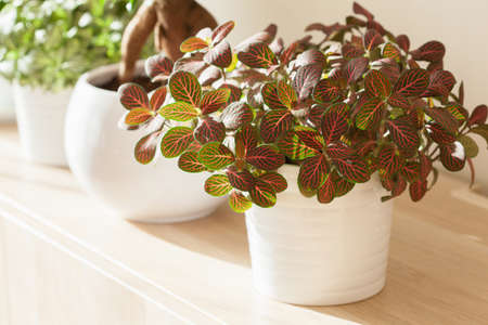 Photo for houseplant fittonia albivenis in white flowerpot - Royalty Free Image