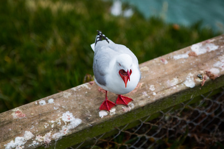 Foto de Seagull with opened mouth at Harington point, Otago, New Zealand - Imagen libre de derechos