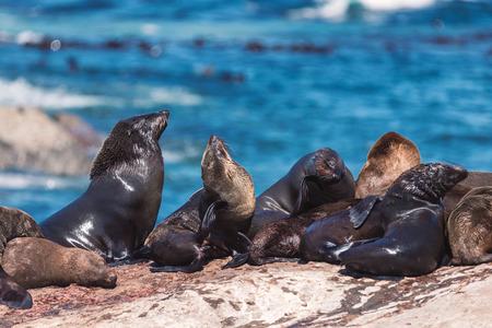 Foto de Lots of seals on a Hout Bay seal island in Cape Town, South Africa - Imagen libre de derechos