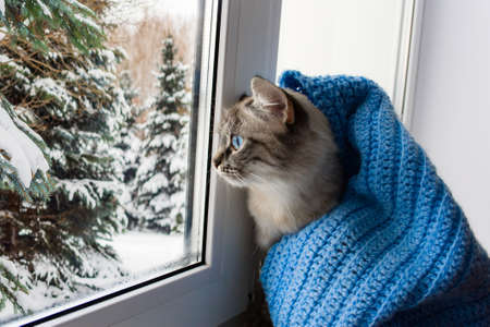 Foto de cute flaffy cat with blue eyes covered in knitted blue scarf , sitting on a window sill and watching throuth the window on snowy trees - Imagen libre de derechos