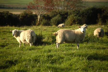 A set of sheep in a green field in Scotland.