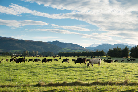 Photo for Cows in green meadow with mountain background in Springfield, West Coast, South Island, New Zealand - Royalty Free Image