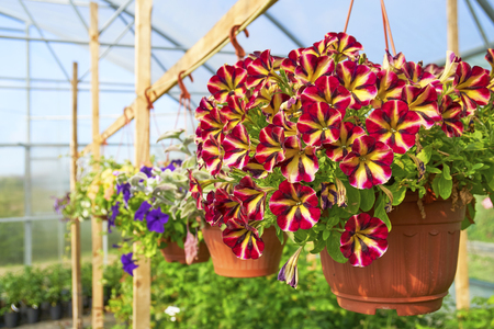 Photo for Multicolored petunia groing in hanging pot - Royalty Free Image