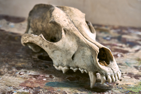 Photo pour Dog scull without lower jaw on shabby wooden surface close up - image libre de droit